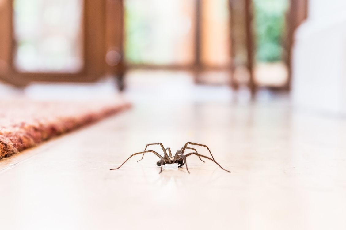 signs of a house spider infestation